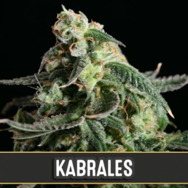 Kabrales Automatic Feminised Cannabis Seeds | Blim Burn Seeds