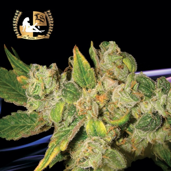 English O.G. Regular Cannabis Seeds | Lady Sativa Genetics