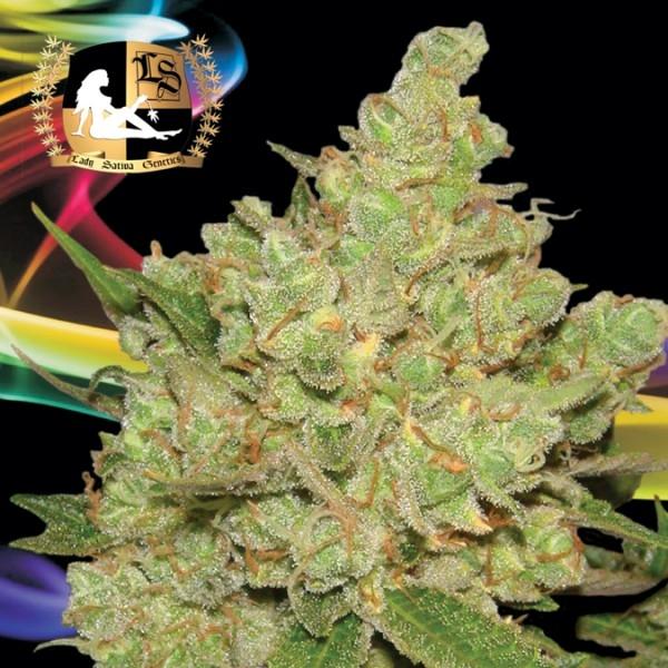 Exodus Fuel Regular Cannabis Seeds | Lady Sativa Genetics