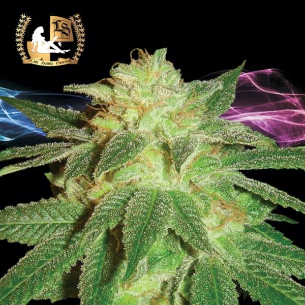 Kensington Kush Regular Cannabis Seeds   Lady Sativa Genetics