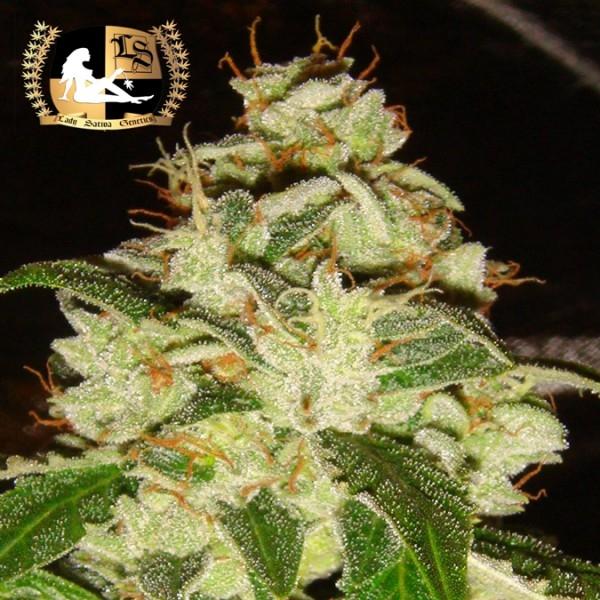 Knightsbridge O.G. Regular Cannabis Seeds | Lady Sativa Genetics