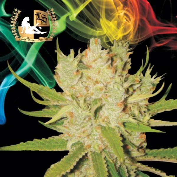 Knightsbridge O.G. Haze Regular Cannabis Seeds   Lady Sativa Genetics