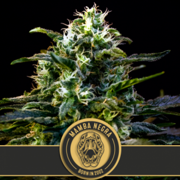 Mamba Negra Feminised Cannabis Seeds | Blim Burn Seeds