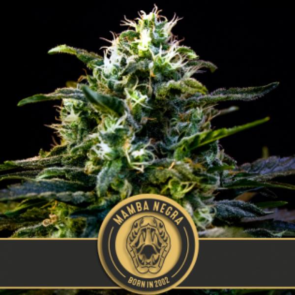 Mamba Negra Feminised Cannabis Seeds | Blim Burn Seeds