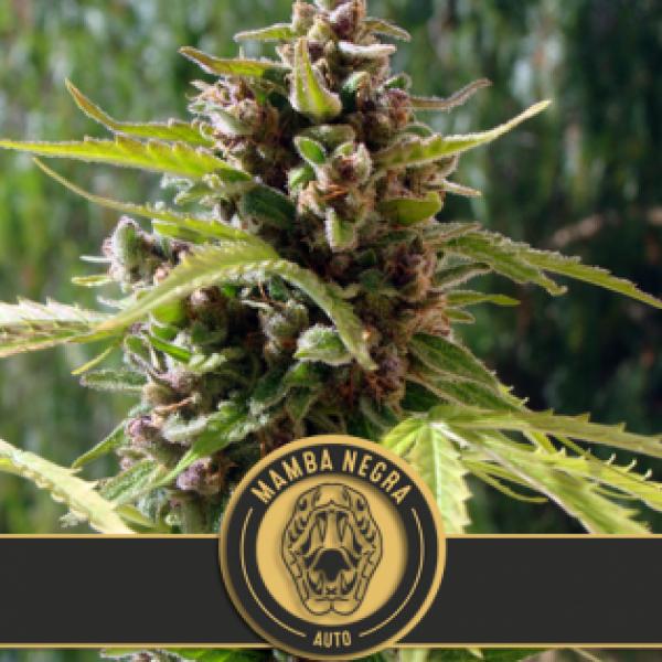 Mamba Negra Auto Feminised Cannabis Seeds | Blim Burn Seeds