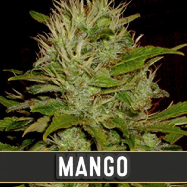 Mango Feminised Cannabis Seeds | Blim Burn Seeds Mango Feminised Cannabis Seeds | Blim Burn Seeds
