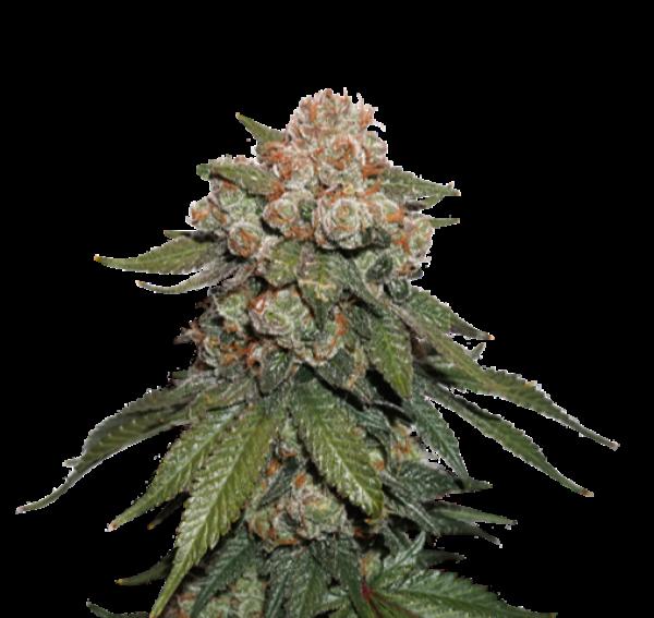 Maple Sherbert x Pre '89 Skunk Feminised Cannabis Seeds | Seed Stockers