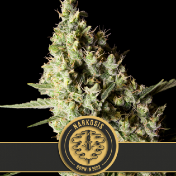 Narkosis Feminised Cannabis Seeds | Blim Burn Seeds