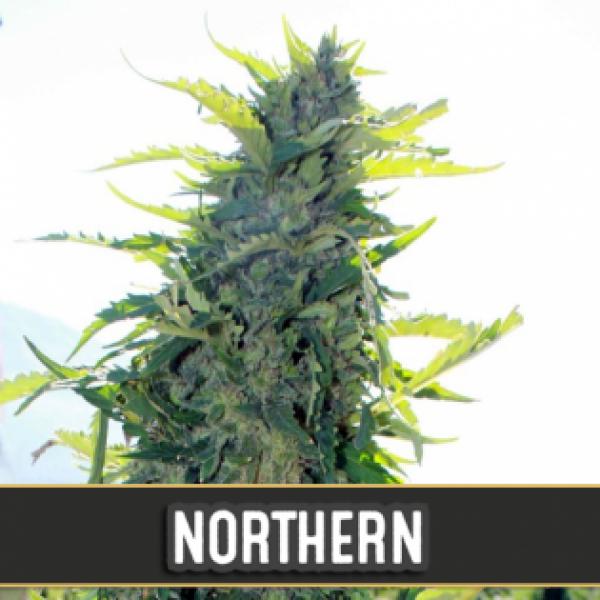 Northern Automatic Feminised Cannabis Seeds | Blim Burn Seeds