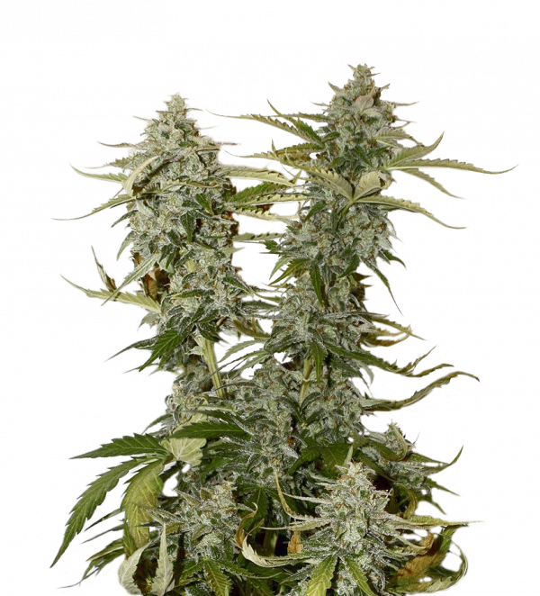 O.G. Candy Dawg Kush Feminised Cannabis Seeds | Seed Stockers