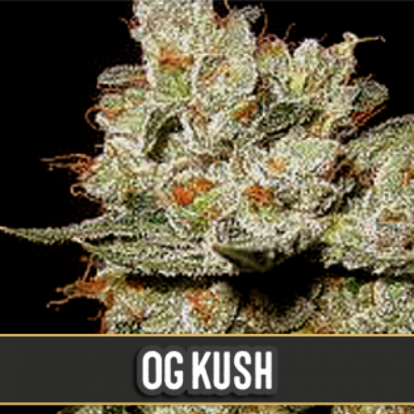OG's Kush Feminsed Cannabis Seeds | Blim Burn Seeds