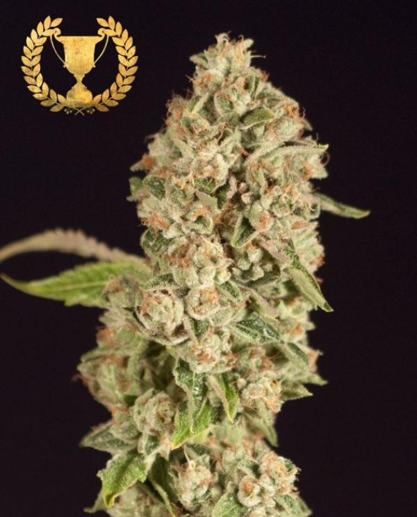 OG Reek'n Feminised Cannabis Seeds | Devil's Harvest Seeds