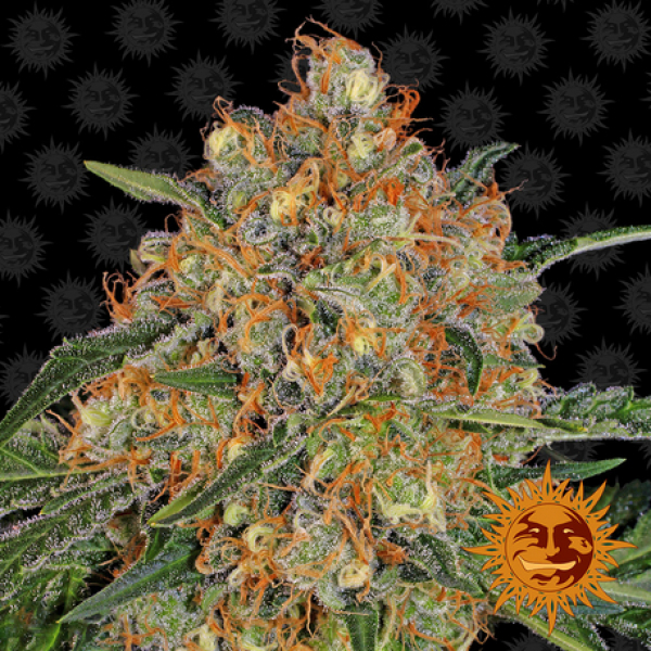 Orange Sherbert Feminised Cannabis Seeds   Barney's Farm