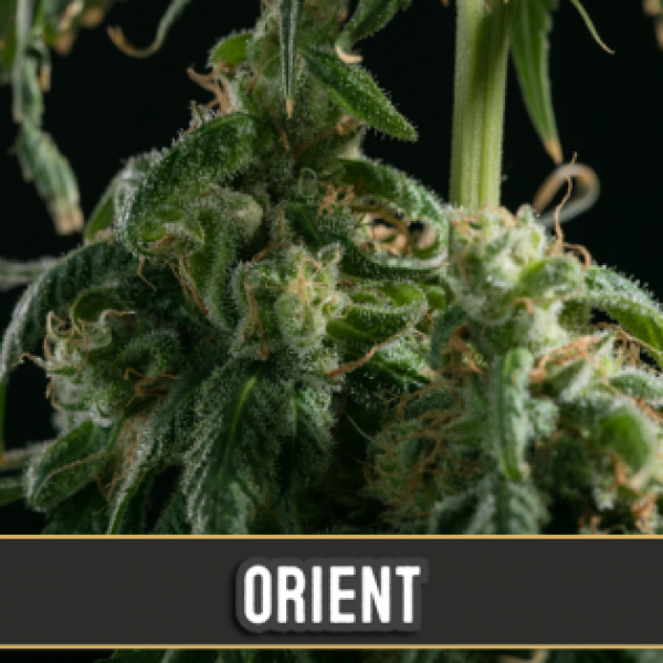 Orient Automatic Feminised Cannabis Seeds   Blim Burn Seeds