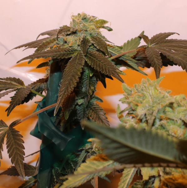 Pink Panties Regular Cannabis Seeds | Purple Caper Seeds