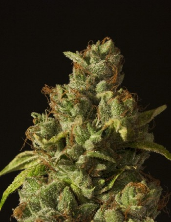 Rollex OG Kush Feminised Cannabis Seeds | Devil's Harvest Seeds