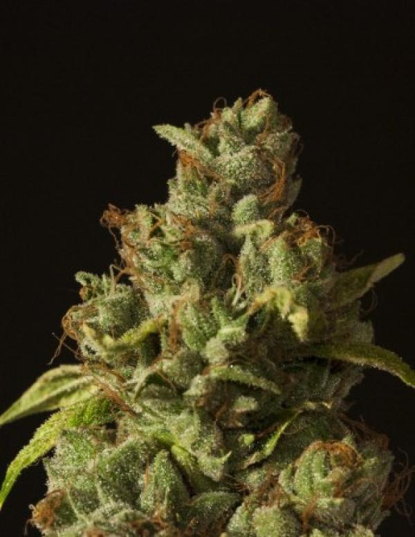 Rollex OG Kush Feminised Cannabis Seeds   Devil's Harvest Seeds