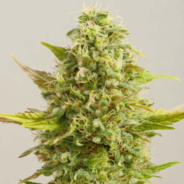 Royal Kush Feminised Cannabis Seeds