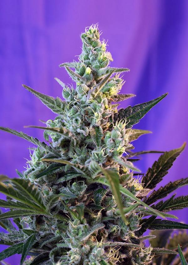 Auto Sweet Skunk Feminised Cannabis Seeds   Sweet Seeds