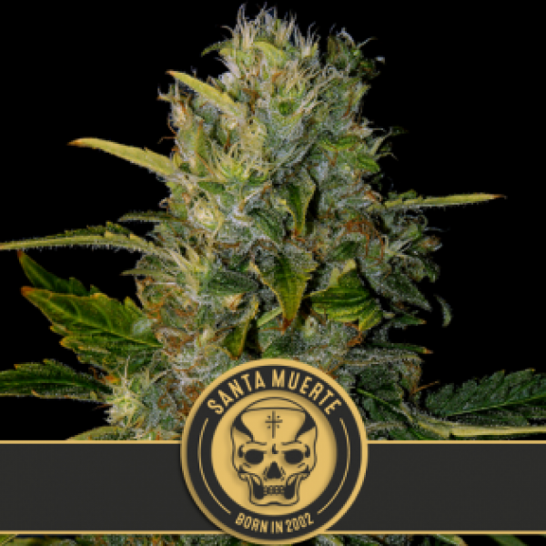 Santa Muerte Feminised Cannabis Seeds | Blim Burn Seeds