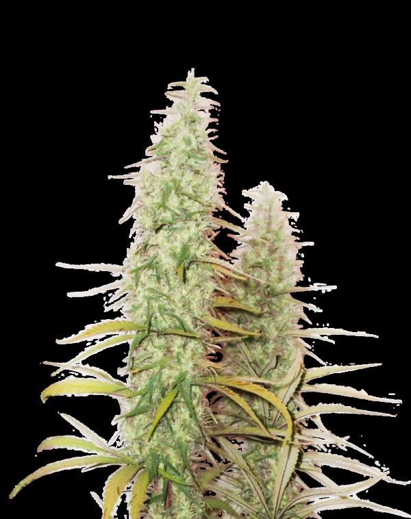 Santa Marta Haze Feminised Cannabis Seeds | Seed Stockers