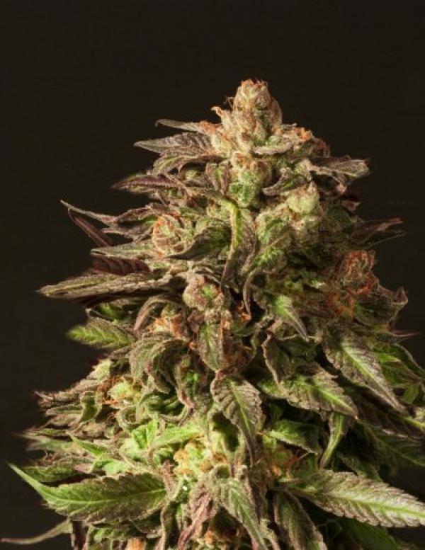 Shoreline Feminised Cannabis Seeds | Devil's Harvest Seeds