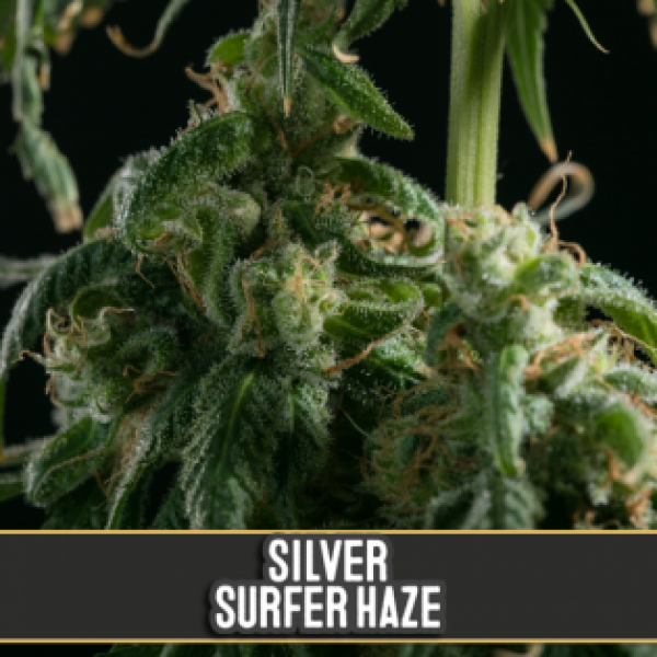 Silver Surfer Haze Feminised Cannabis Seeds | Blim Burn Seeds