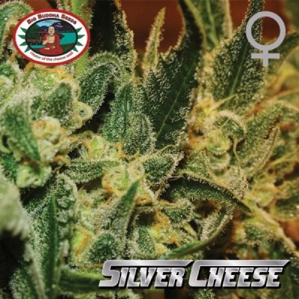 Sour Chiesel Feminised Cannabis Seeds | Big Buddha Seeds