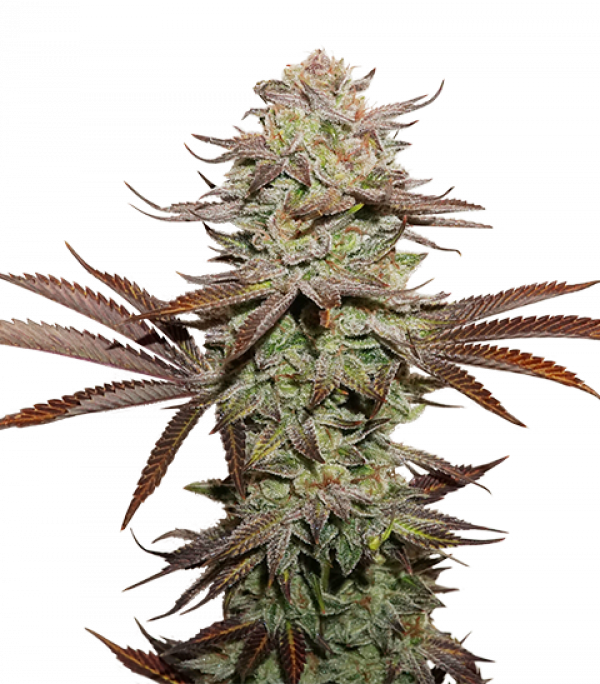 Sticky Fingers Auto Feminised Cannabis Seeds   Seed Stockers