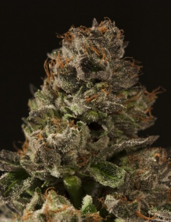Strawberry Sour Diesel Feminised Cannabis Seeds   Devil's Harvest Seeds