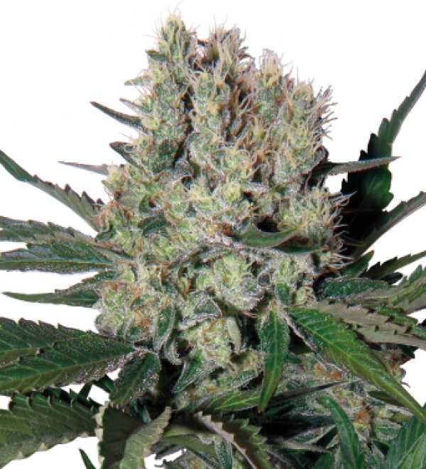 Syrup Auto Feminised Cannabis Seeds | Buddha Seeds