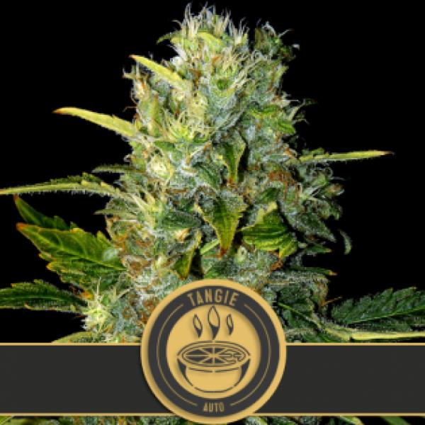 Tangie Auto Feminised Cannabis Seeds   Blim Burn Seeds