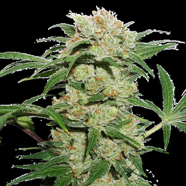 Thin Mint Crack Auto Feminised Cannabis Seeds | Seed Stockers