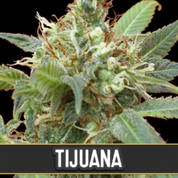 Tijuana Feminised Cannabis Seeds | Blim Burn Seeds