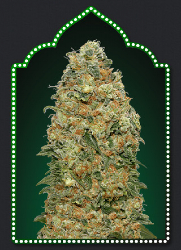 White Widow Feminised Cannabis Seeds | OO Seeds