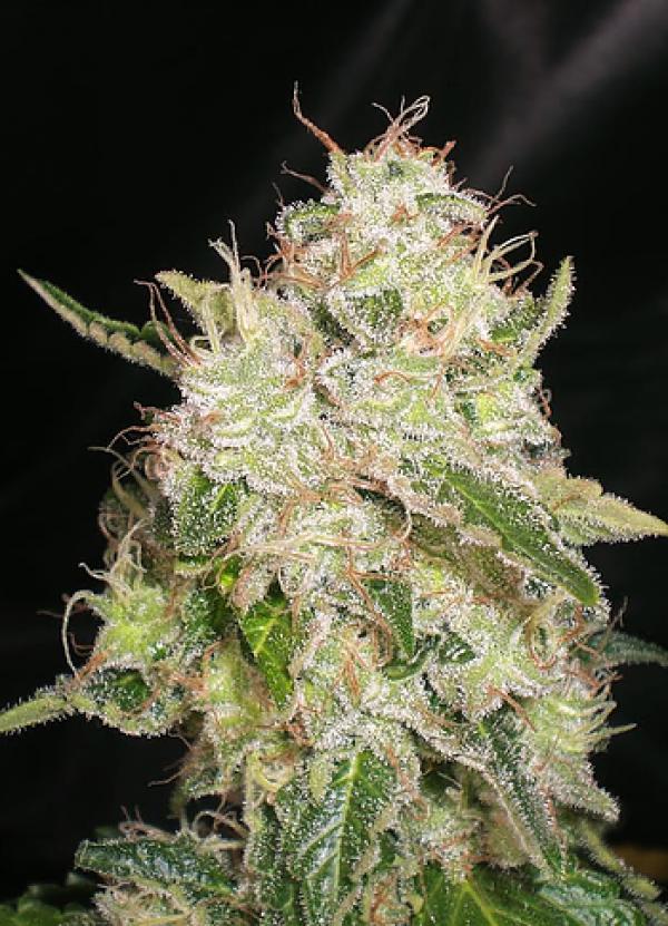 White Chronic Feminised Cannabis Seeds | Cream Of The Crop