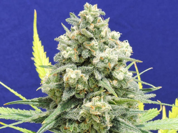 White Critical Feminised Cannabis Seeds |  Original Sensible Seed Company