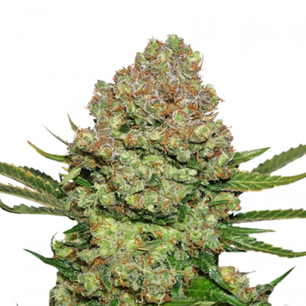 White Widow Auto Feminised Cannabis Seeds | Seed Stockers
