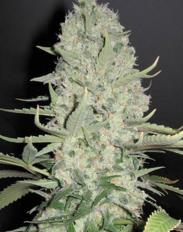 White Widow x Big Bud   Female Seeds