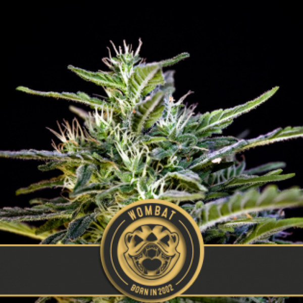 Wombat Feminised Cannabis Seeds | Blim Burn Seeds
