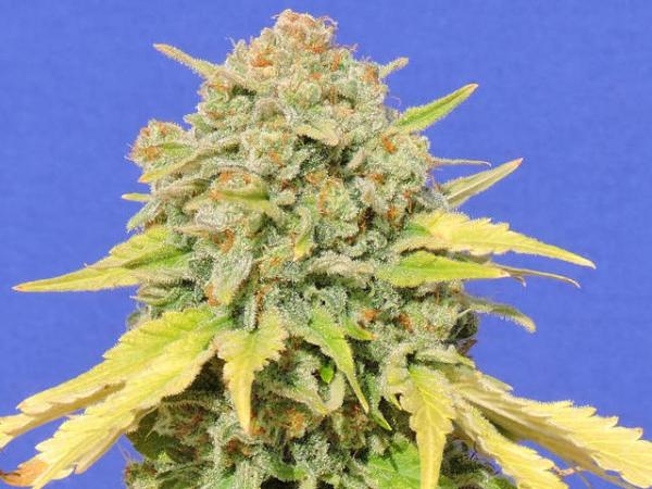 Zkittlez Feminised Cannabis Seeds | Original Sensible Seed Company