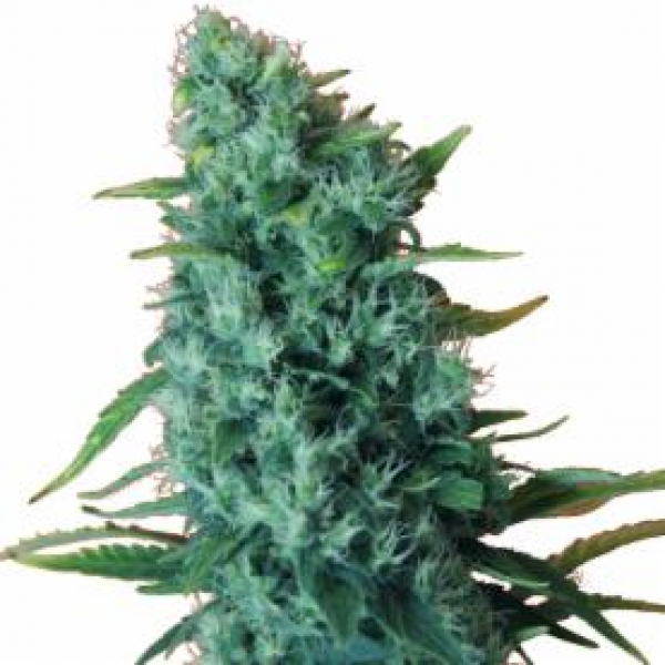 GGG 2 – Gorilla Infested Gelato Auto Feminised Cannabis Seeds | Dr Krippling