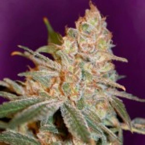 Advanced Seeds Black Diesel Feminised Cannabis Seeds