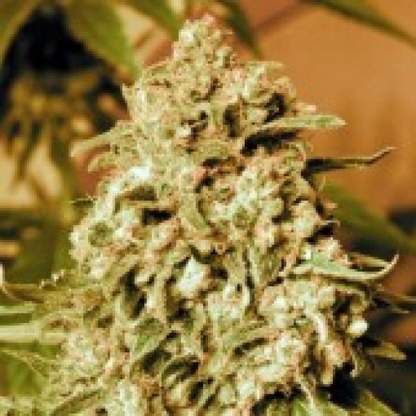 Advanced Seeds Somango Widow Feminised Cannabis Seeds
