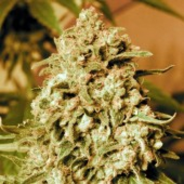 Advanced Seeds Somango Widow Feminised Cannabis Seeds