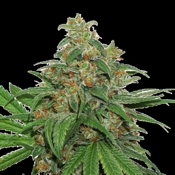AK420 Auto Feminised Cannabis Seeds | Seed Stockers