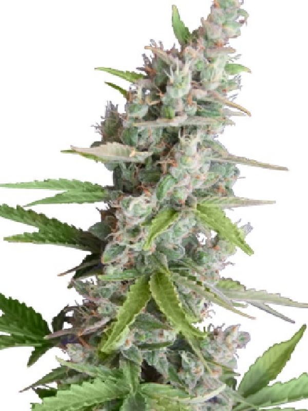 AK Auto Feminised Cannabis Seeds | Seedmakers Seeds