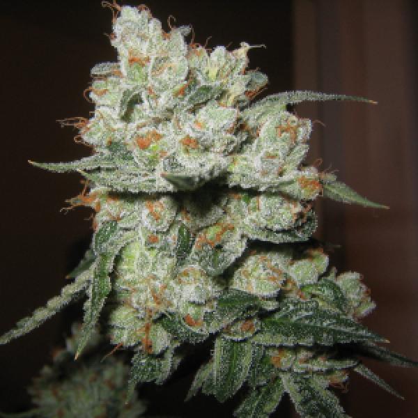 Chuck Berry Regular Cannabis Seeds | Apothecary Genetics Seeds