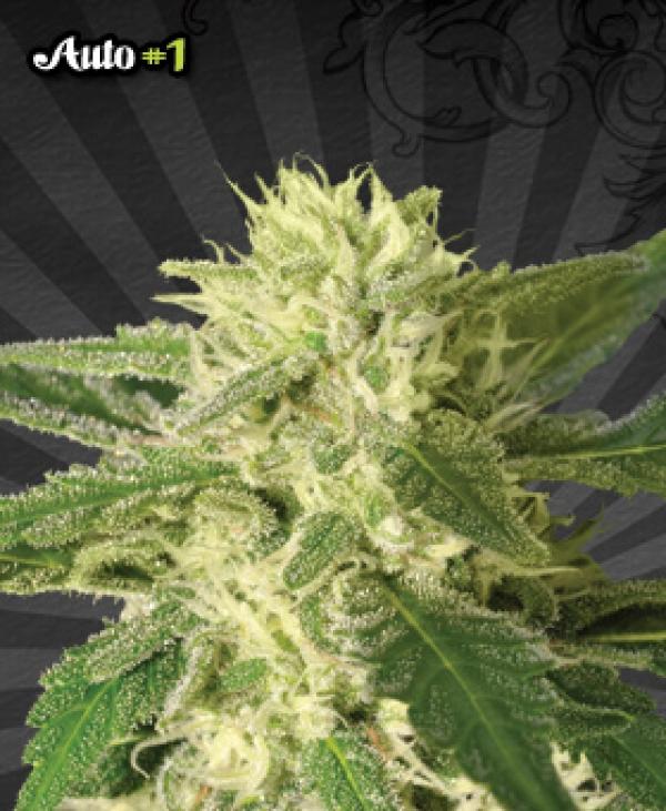 Auto #1 Auto flowering Feminised Cannabis Seeds | Auto Seeds