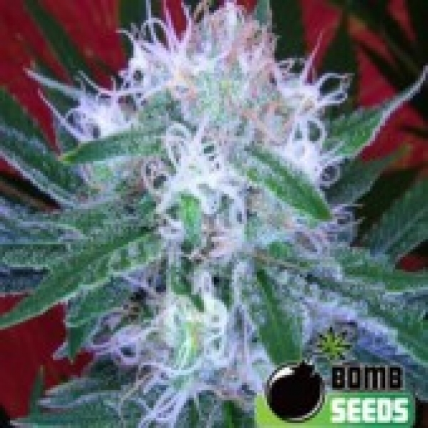 Bomb Seeds Auto Bomb Feminised Cannabis Seeds For Sale